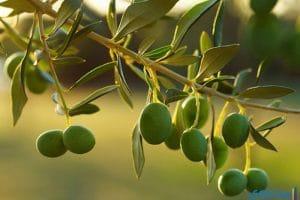 فوائد ورق الزيتون للصحة والحامل