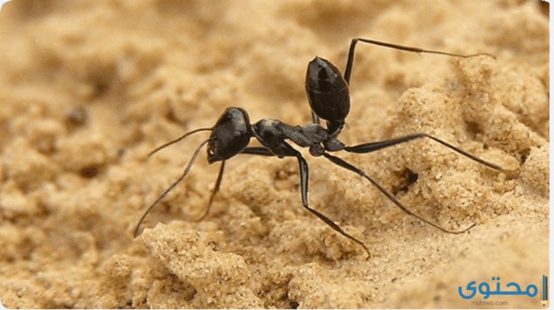 قصة نبي الله سليمان مع النملة
