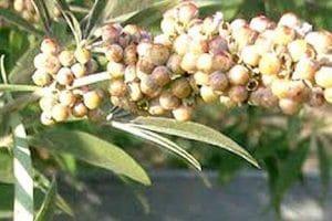 فوائد نبات كف مريم وأثاره الجانبيه وطرق أستخدامه
