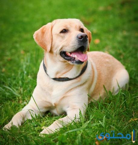 معلومات عن كلب لابرادور