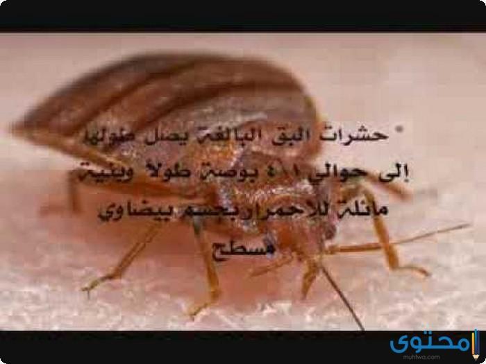 كيفية التخلص من حشرة الكتان أو البق