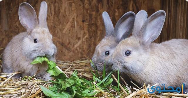 كيفية تربية الأرانب