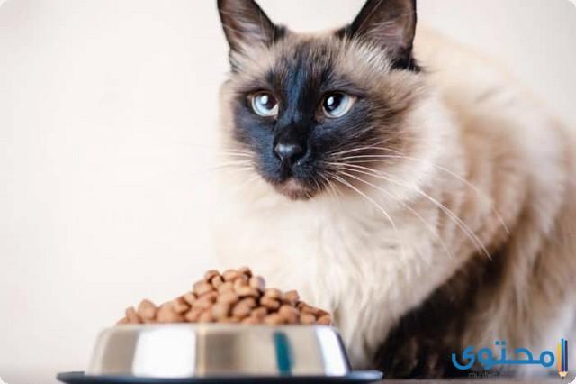 كيفية تربية القطط السيامي في المنزل