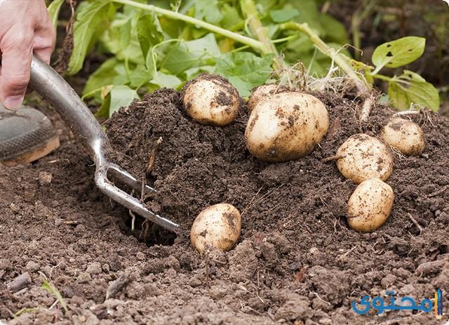 كيفية زراعة البطاطس في المنزل
