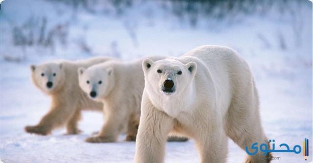 كيف يتكيف الدب القطبي مع بيئته