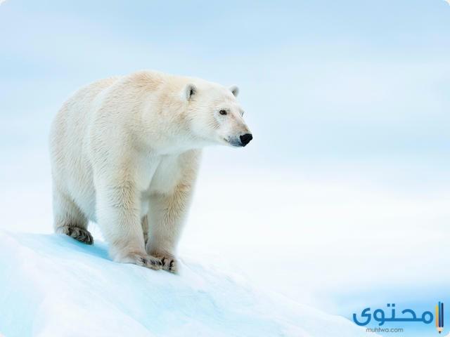 كيف يتكيف الدب القطبي