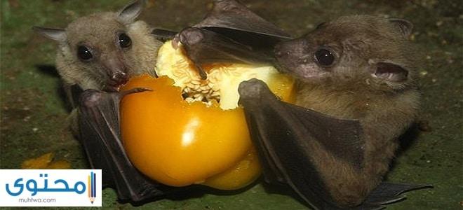ماذا يأكل الخفاش