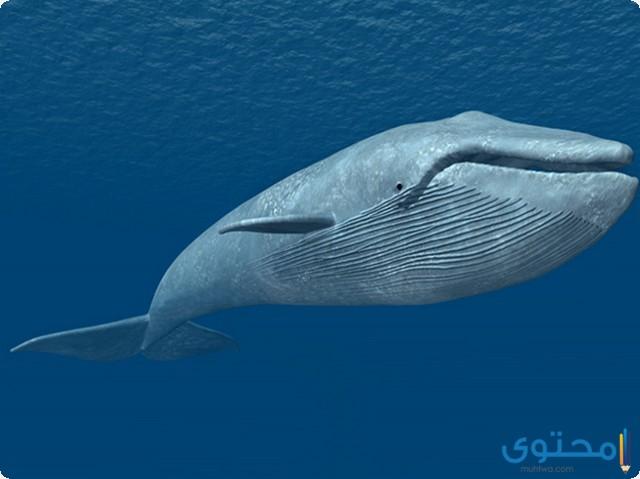 انواع الحيتان2