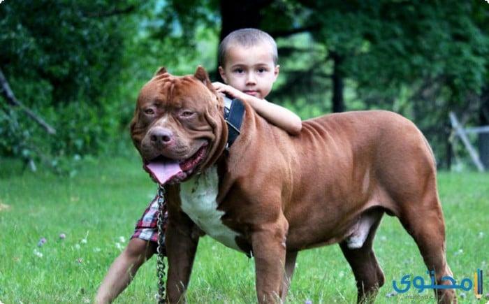 مزايا وعيوب تربية كلاب البيتبول