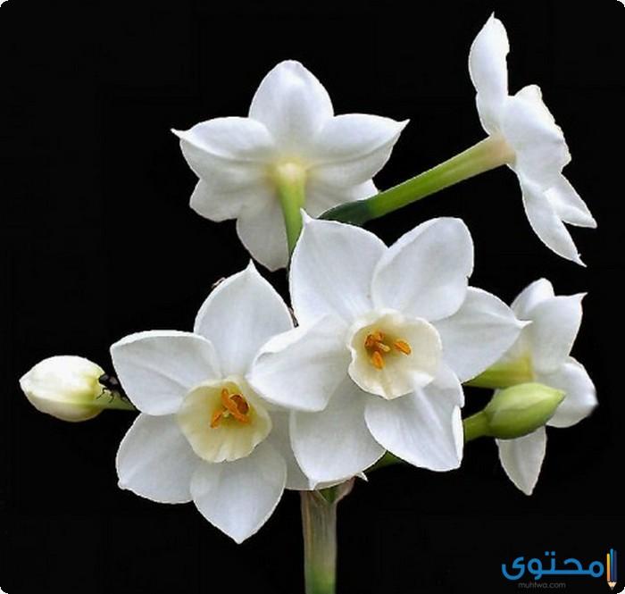 معلومات عن أزهار النرجس