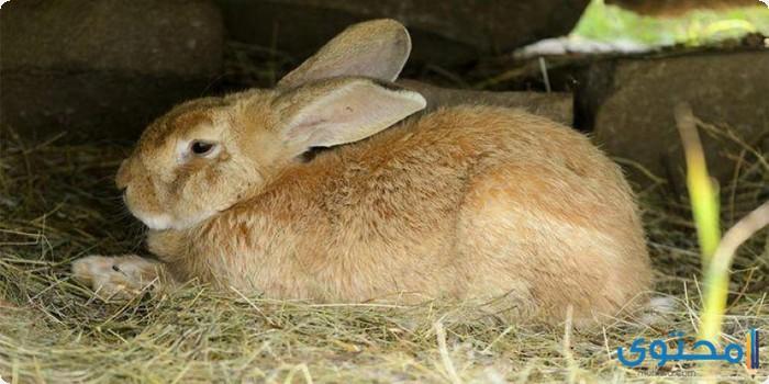 معلومات وصور جميع أنواع الأرانب