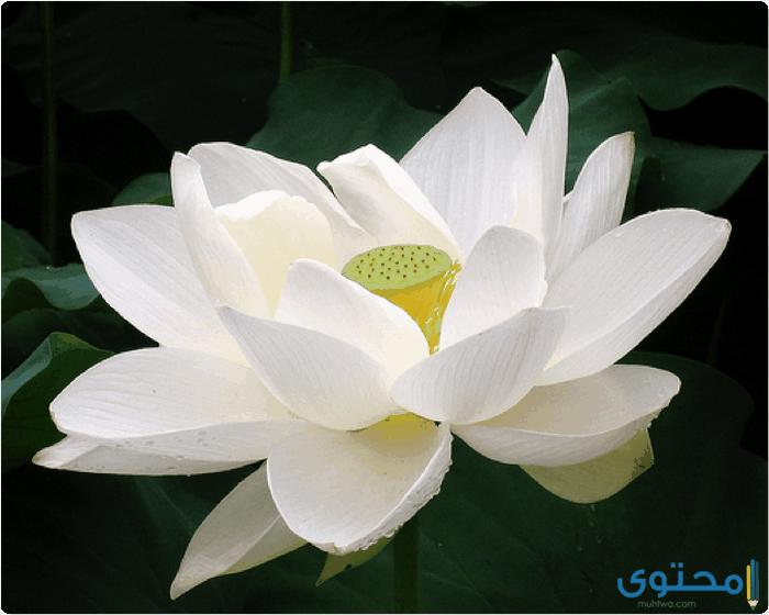 معنى كلمة زهرة اللوتس