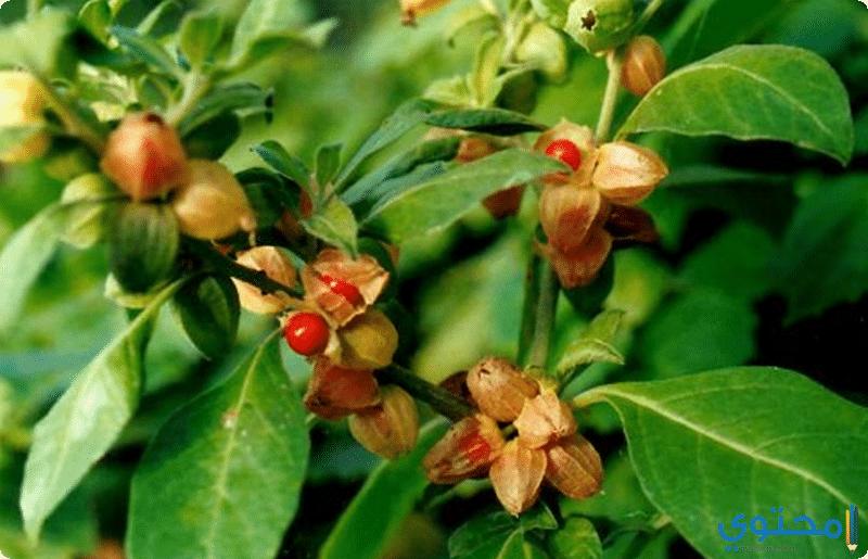 القيمة الغذائية لنبات الاشواجندا