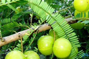 فوائد نبات الأملج للصحة والجمال
