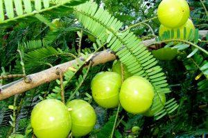 فوائد نبات الاملج للصحة والشعر والبشرة