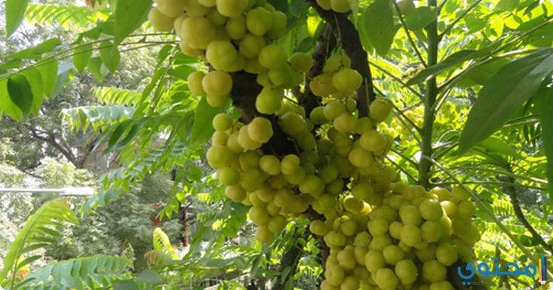 فوائد استخدام نبات الاملج للصحة