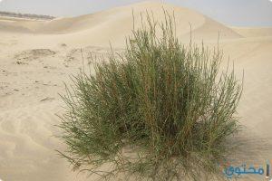 فوائد واستخدام نبات الرمث لعلاج العقم