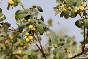 فوائد نبات السدر للبشرة والشعر