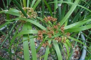 أضرار وفوائد نبات السعد للمنطقة الحساسة