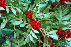فوائد نبات الضرو للصحة ولعلاج الحروق