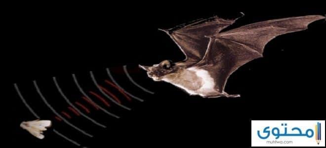 هل الخفاش يري