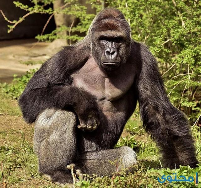 هل تعلم عن القرود