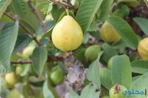فوائد ورق الجوافة للشعر والبشرة والتخسيس