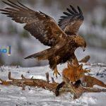 تفسير رؤية طائر العقاب فى منام العزباء والمتزوجة
