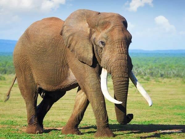 صور أفيال