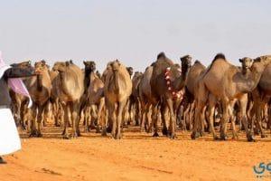 مهرجان جائزة الملك عبدالعزيز لمزاين الابل بالصور