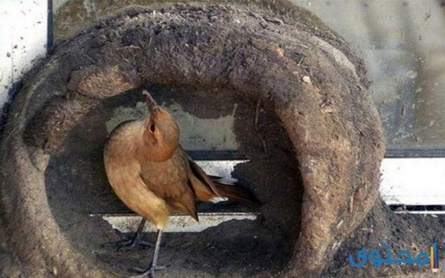 معلومات عن الطائر الفران