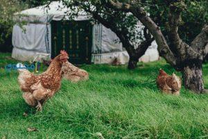 تفسير رؤية الدجاج وأكله فى المنام بالتفصيل