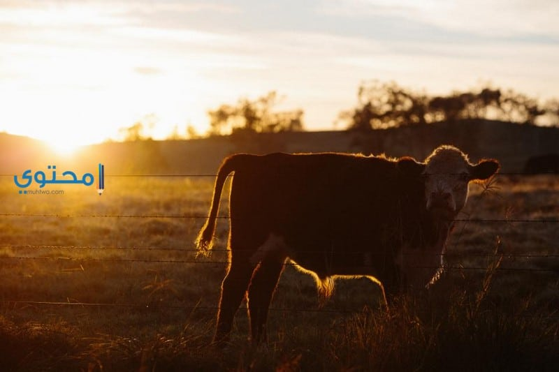 تفسير رؤية البقرة فى المنام بالتفصيل