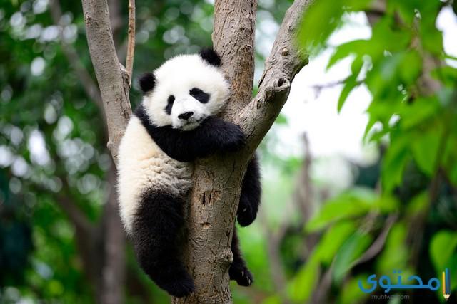 دب الباندادب الباندا