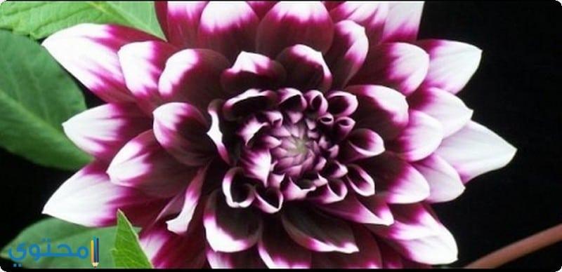 زهرة أضاليا