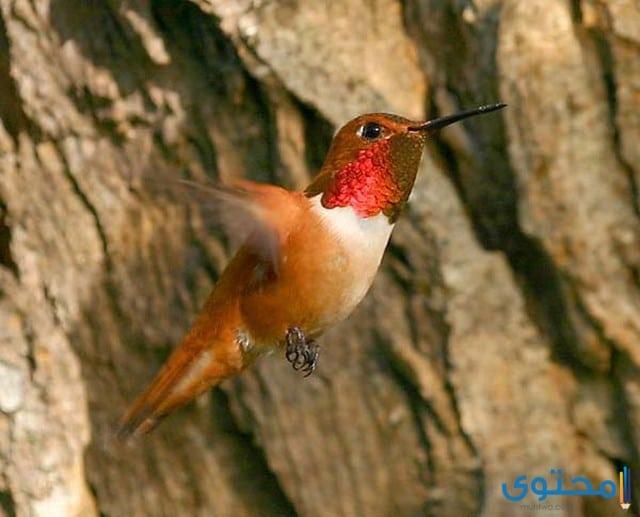 حيوان الغرير طائر الصداح