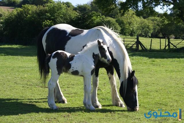 اجمل حصان في العالم