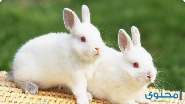 تفسير حلم الأرنب في المنام