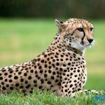 تفسير رؤية الفهد في المنام