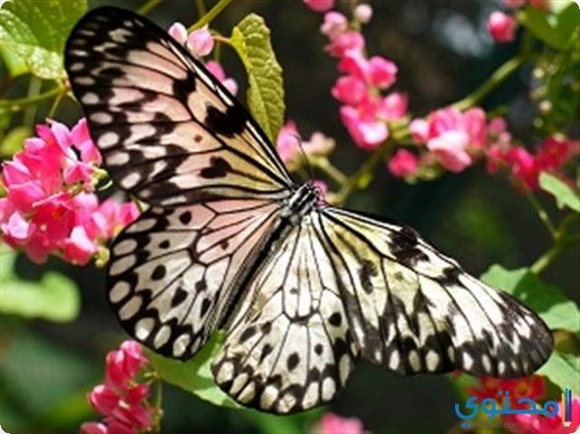 الفراشة في المنام
