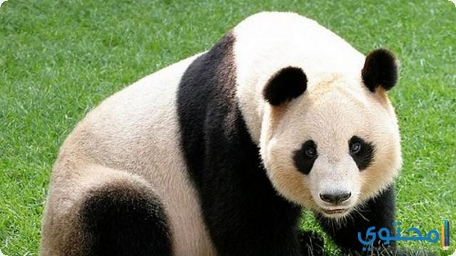 الباندا في المنام