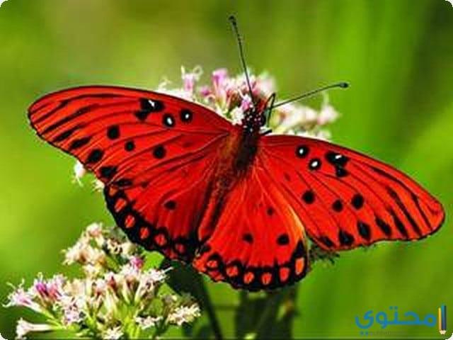 تفسير رؤية الفراشة في المنام ومعناه