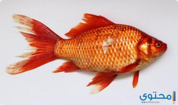 معني رؤية السمك في المنام بالتفصيل موقع محتوى