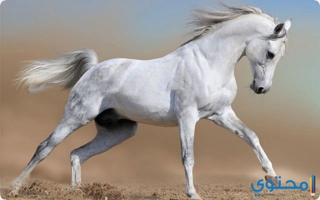 تفسير رؤية الحصان في المنام للعزباء موقع محتوى