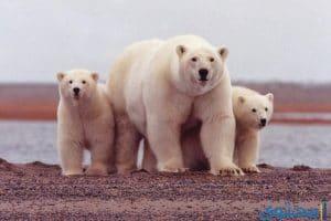 معنى حلم الدب في المنام