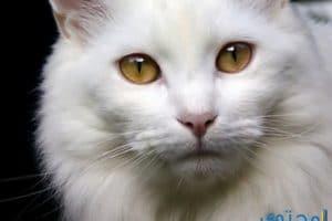 تفسير رؤية القطه في المنام لابن سيرين