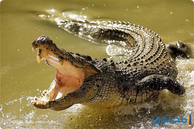 التمساح في المنام
