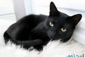 معاني ودلالات القطط السوداء في الحلم