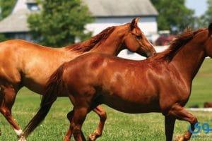 تفسير رؤية الحصان في المنام للعزباء