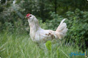 تفسير الدجاج في الحلم